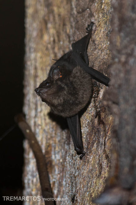Greater Sac-winged Bat (Saccopteryx bilineata)