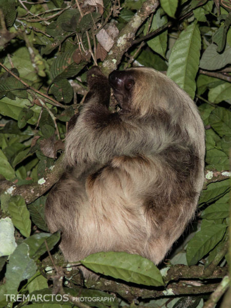 Linneaus's Two-toed Sloth (Choloepus didactylus)