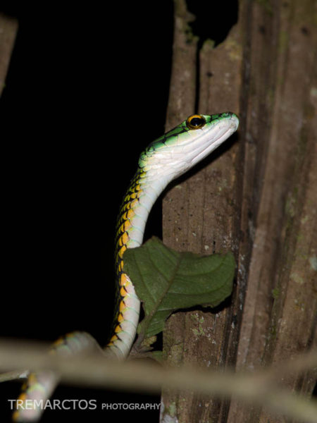 Black-skinned Parrot Snake (Leptophis ahaetulla nigromarginatus)