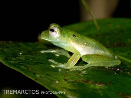 Santa Cecilia Cochran Frog (Teratohyla midas)