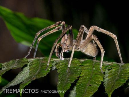 Wandering Spider (Ctenidae sp)