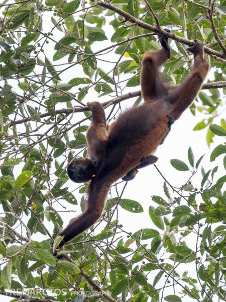 Silvery Woolly Monkey (Lagothrix poeppigii)