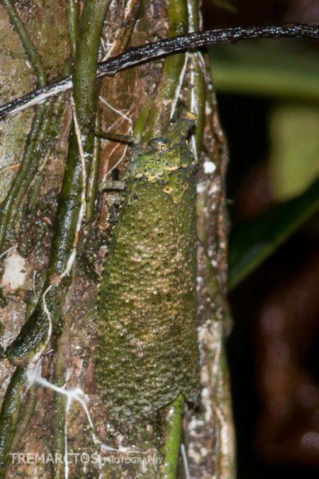 Planthopper (Diareusa sp)