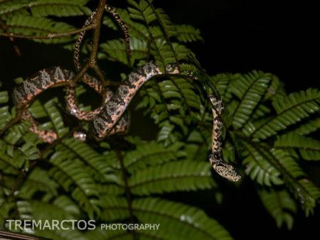 Immature Amazon Tree Boa (Corallus hortulanus)