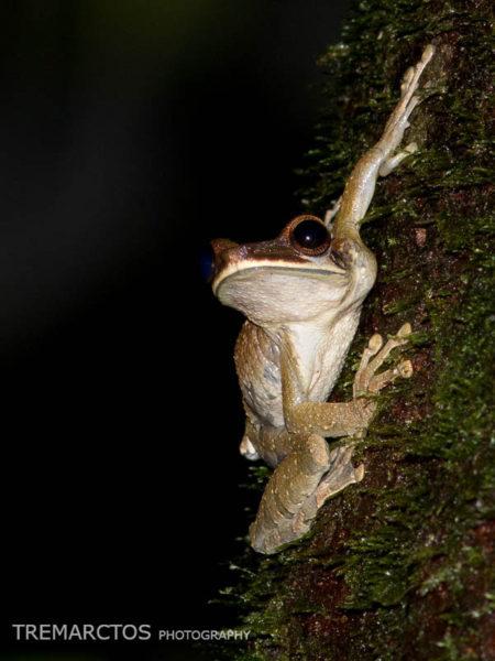 Flat-headed Bromeliad Treefrog (Osteocephalus planiceps)