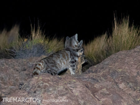 Andean Mountain Cat (Leopardus jacobita)