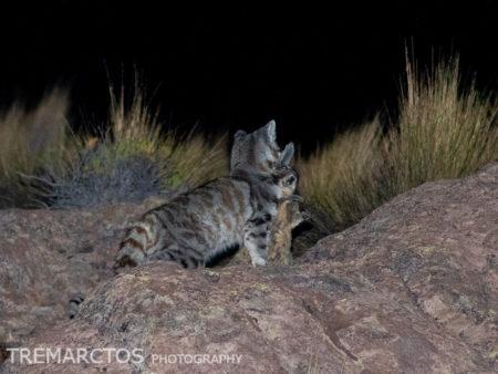 Andean Mountain Cat (Leopardus jacobita)