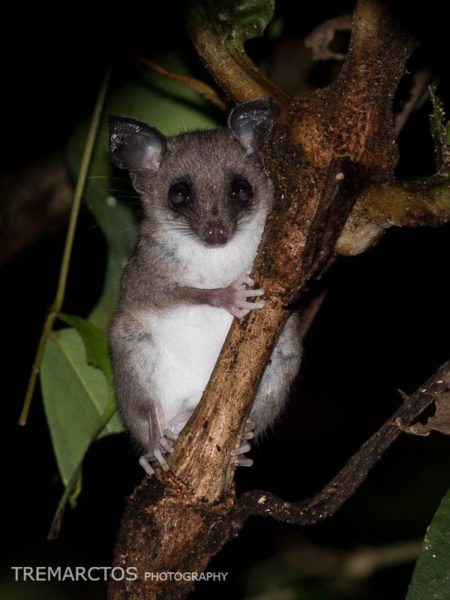 Mouse Opossum (Marmosops or Marmosa sp)