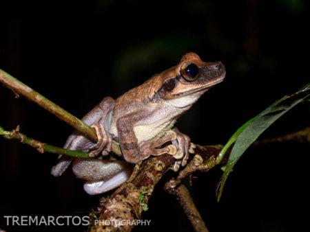 Yasuni Bromeliad Treefrog (Osteocephalus yasuni)