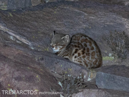 Pampas Cat (Leopardus colocolo colocolo)