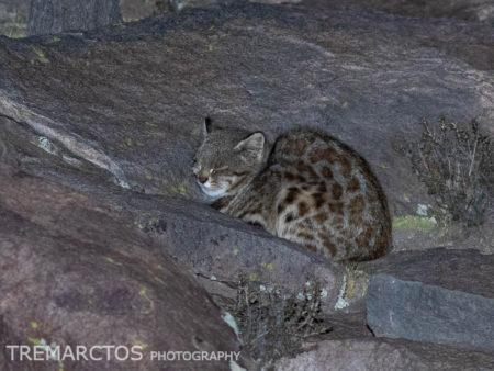 Pampas Cat (Leopardus colocolo colocolo)
