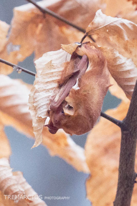 Eastern Red Bat (Lasiurus borealis)