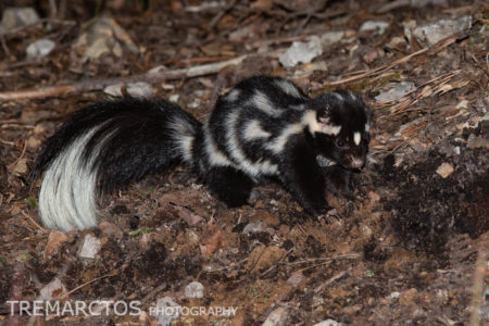 Eastern Spotted Skunk (Spilogale putorius)