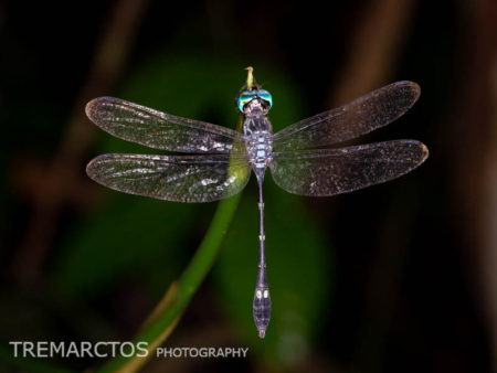 Dragonfly (Libellulidae)