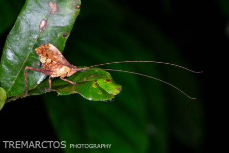 Leaf-mimic Katydid (Typophyllum sp)
