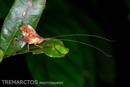 Leaf-mimic Katydid (Typophyllum sp)