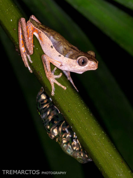 Jaguar Leaf Frog (Pithecopus palliatus)