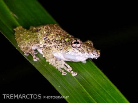 Eirunepe Snouted Treefrog (Scinax garbei)
