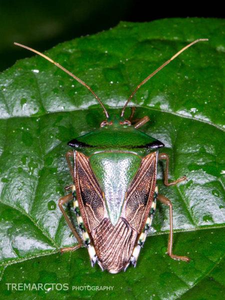Green Stink Bug (Edessa sp)