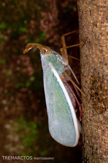 Lantern Bug (Enchophora prasina)