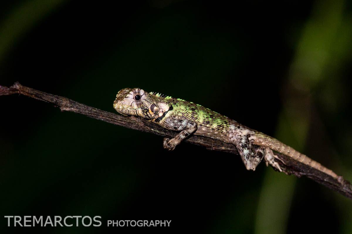 Blue-lipped Tree Lizard