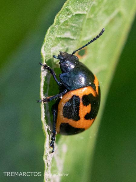 Milkweed Leaf Beetle (Labidomera clivicollis)