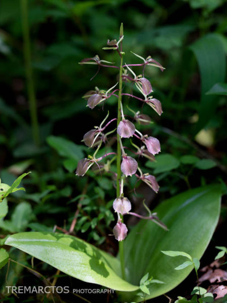 Large Twayblade (Liparis liliifolia)