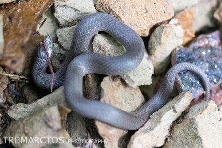 Smooth Earth Snake (Virginia valeriae valeriae)