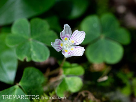 Mountain Woodsorrel (Oxalis montana)