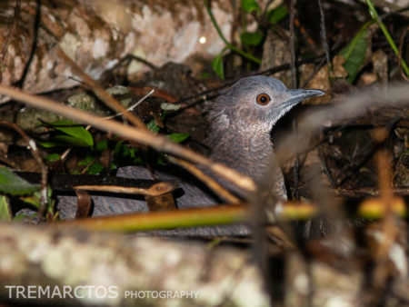 Undulated Tinamou (Crypturellus undulatus)