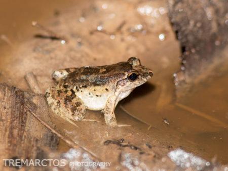 Peters' Thin-toed Frog (Leptodactylus petersii)