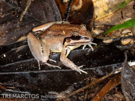 Madre de Dios Thin-toed Frog (Leptodactylus didymus)