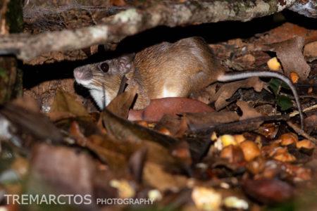 Hiding Spiny Rat (Proechimys sp)