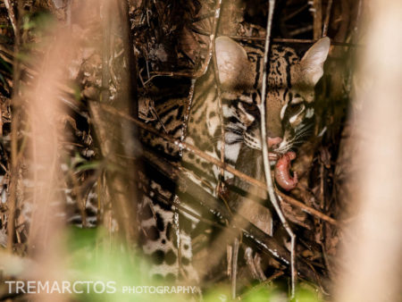 Ocelot with Prey (Leopardus pardalis)