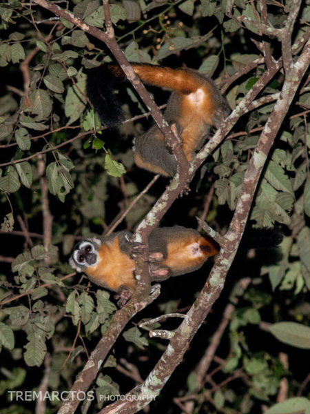 Black-headed Night Monkey (Aotus nigriceps)