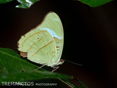 Olivewing Butterfly (Nessaea sp)