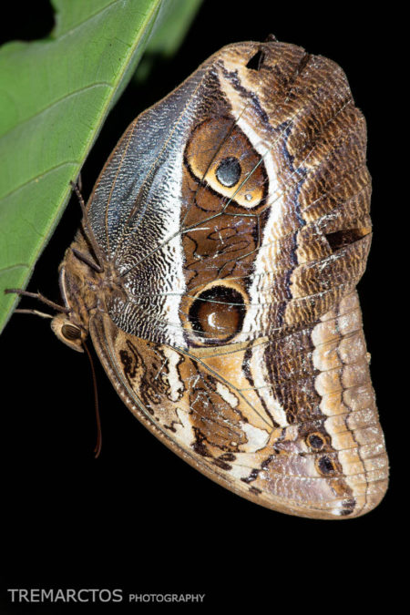 Owl Butterfly (Caligo sp)