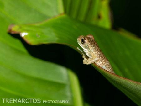 Veined Tree Frog (Trachycephalus typhonius)