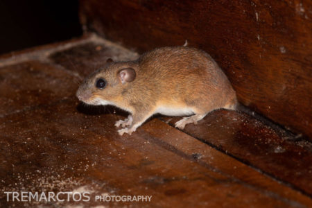 Rice Rat (Euryoryzomys sp)