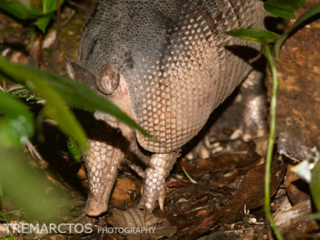 Greater Long-nosed Armadillo (Dasypus kappleri)