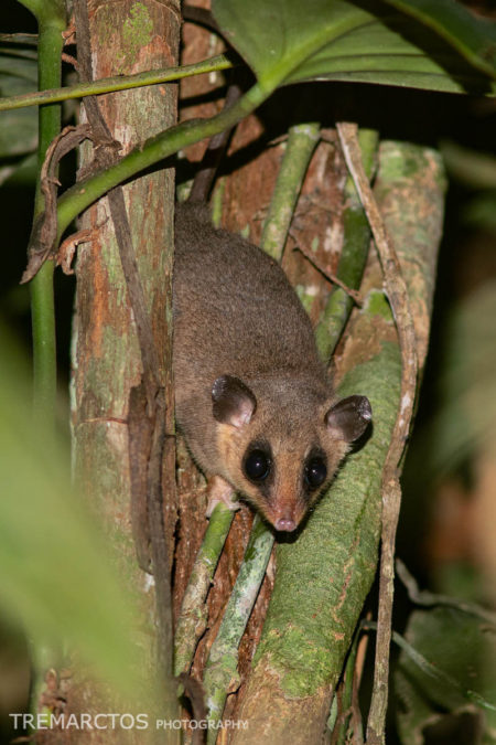 Mouse Opossum (Marmosa sp)
