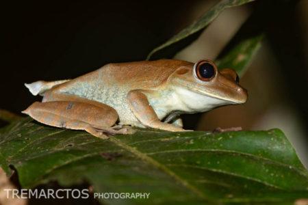 Rusty Treefrog (Boana boans)