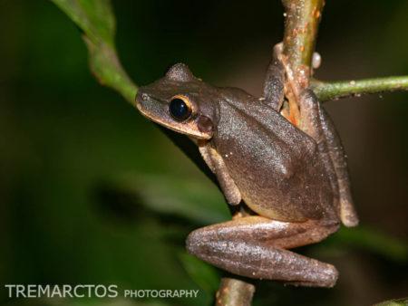 Slender-legged Treefrog (Osteocephalus cf leprieurii)
