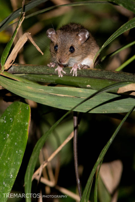 Pygmy Rice Rat (Oligoryzomys sp)