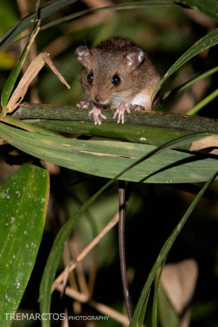 Pygmy Rice Rat (Oligoryzomys sp)
