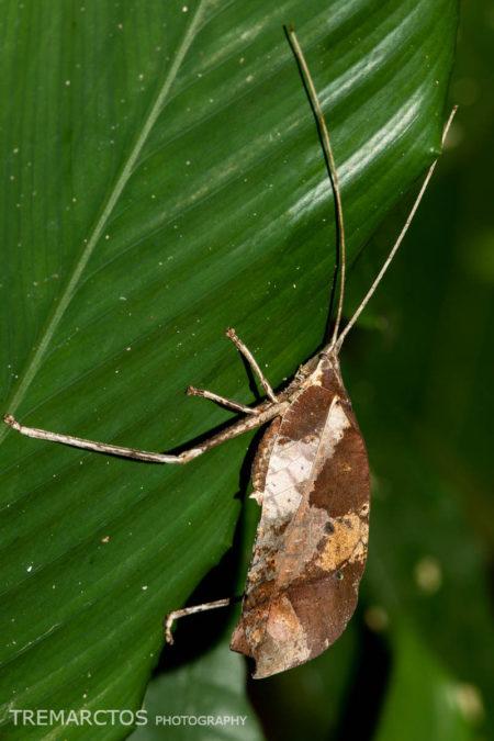 Leaf Mimic Katydid (Typophyllum sp)