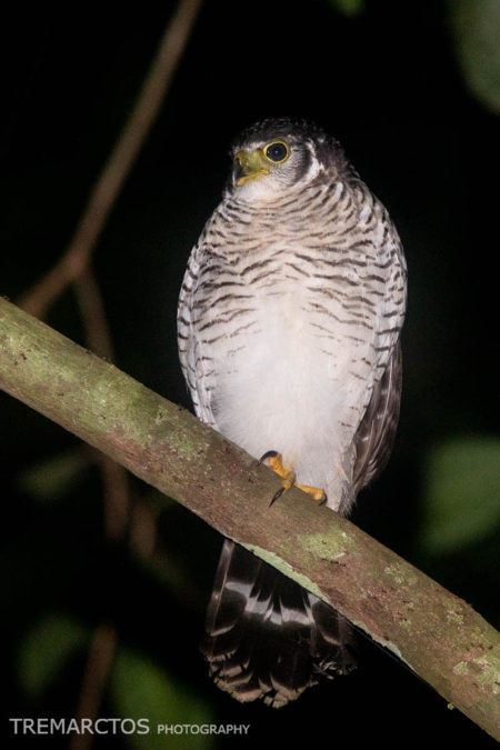 Barred Forest-Falcon (Micrastur ruficollis)