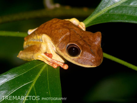 Map Treefrog (Boana geographica)