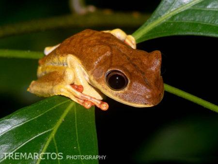 Map Treefrog (Boana geographica)