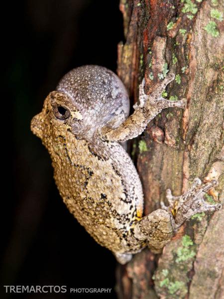 Male Gray Treefrog (Hyla versicolor)